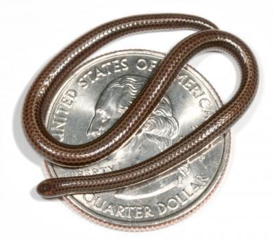 najmniejszy wąż świata