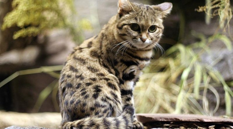 najmniejszy dziki kot