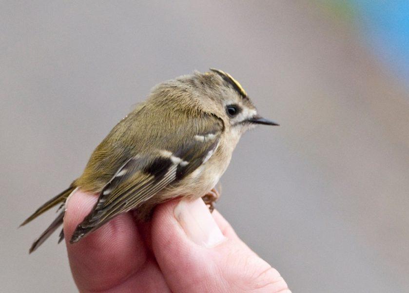 najmniejszy ptak polski mysikrólik